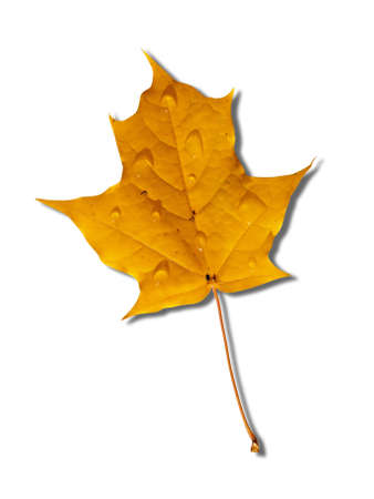 yellow autumnal maple leaf isolated on white background Stock Photo - 5713980