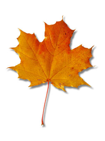 beautiful colorful autumnal maple leaf isolated on white background Stock Photo - 5719543