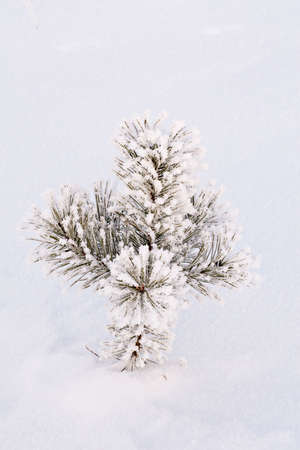 small  pin tree in a snow drift photo