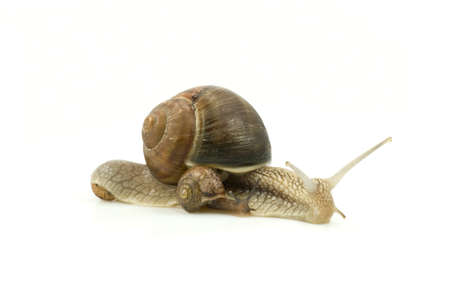 snails family crawling, isolated on white background Reklamní fotografie - 6992267