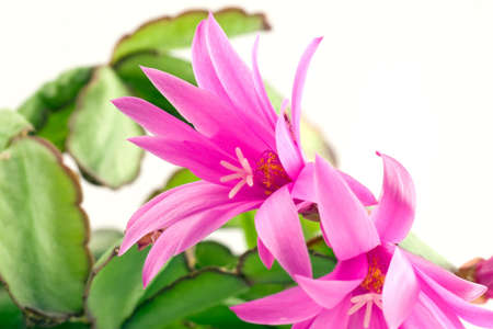 pink christmas cactus  bloom, isolated on white photo
