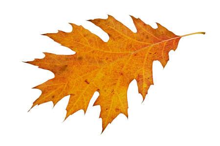 beautiful autumn leaf isolated on white background Stock Photo - 7951284