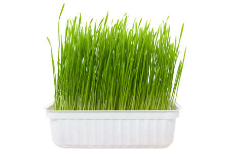 green wheat sprouts over a white background Stock Photo - 9160440