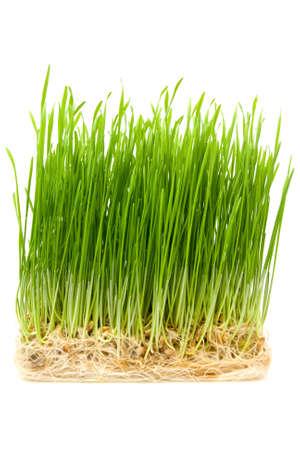 cosecha de trigo: trigo joven coles sobre un fondo blanco