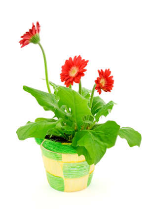 gerbera flower  in a pot isolated on white background. photo