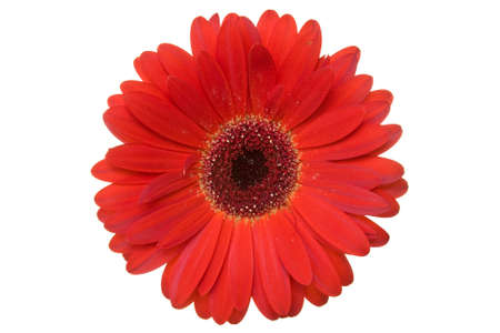 Red gerbera isolated on a white background .