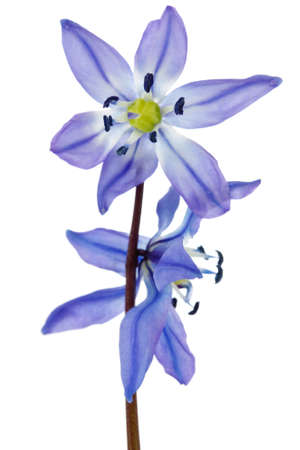 blue hepatica flower isolated on white background photo