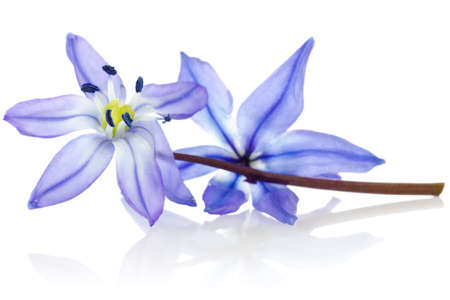 blue flower: blue  flower with reflection on white background