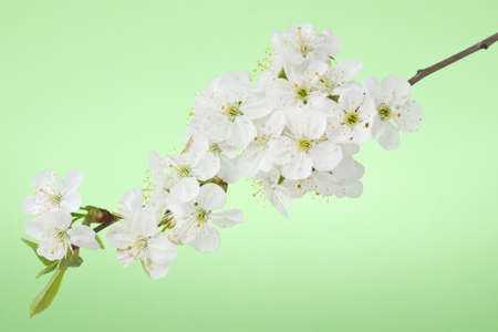 Spring cherry blossom on the green background Stock Photo - 13544326