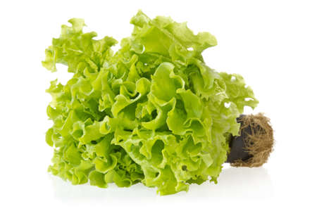 Fresh green lettuce with reflection on white background  photo