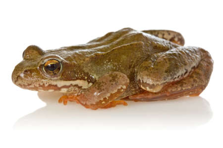 Frog with reflection on a white background photo