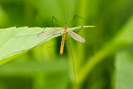 culicidae: Mosquito sitting on the leaf over a green background  Stock Photo
