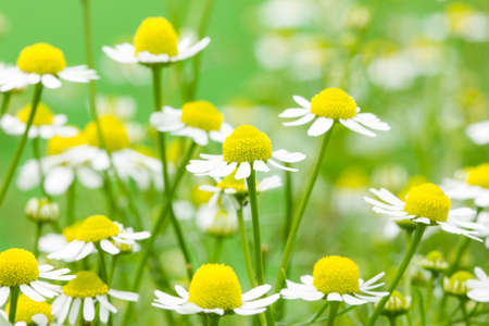 White and yellow daisies blooming in a summer field photo