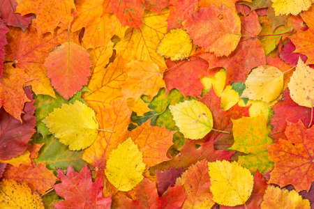autumn leaves: Colorful and bright background made of fallen autumn leaves  Stock Photo