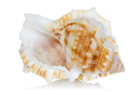 mollusca: Marine sea shell with reflection on  a white background