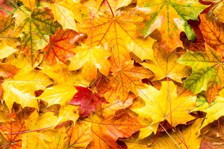 Natte bladeren vallen voor een herfst achtergrond Stockfoto