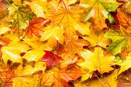Wet fall leaves for an autumn background Banco de Imagens