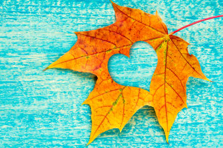 leaf shape: Maple leaf with heart shape on the blue wooden background Stock Photo