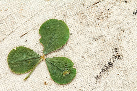 three leafed: Dry three-leafed clover on aged background with copy-space
