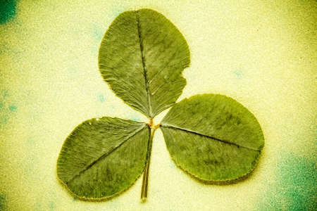three leafed: Dry three-leafed clover on aged green background