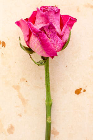 paper old: Old pink  rose on old paper background Stock Photo