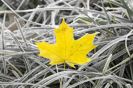 land plant: Yellow maple leaf in the grass with morning frost Stock Photo
