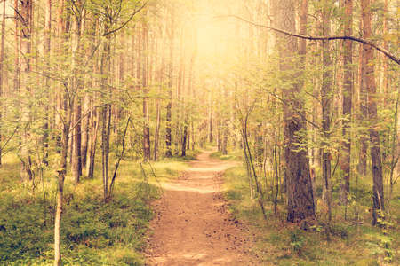 Sunbeams pour through trees in a pine forest Stock Photo