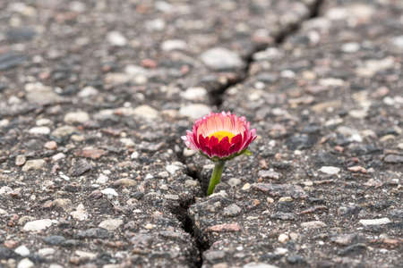 Spring flower growing on crack in old asphalt pavement Фото со стока