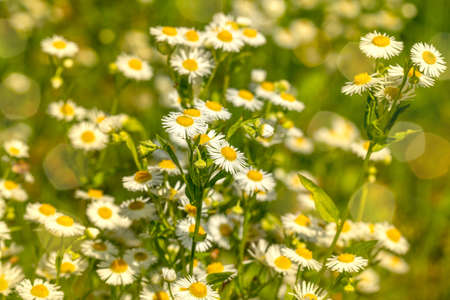 Field chamomiles flowers in sunlights. Beautiful nature scene with blooming medical chamomiles in sun day Stock Photo