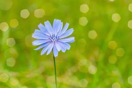 Blue flower on natural background. Flower of wild chicory endive. Stockfoto