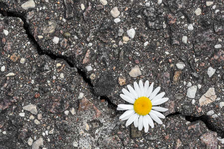 Daisy flower growing from cracked asphalt.Environment concept.Top view.
