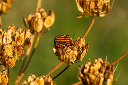 The forest bug or red-legged shield bug sitting on the dry plant