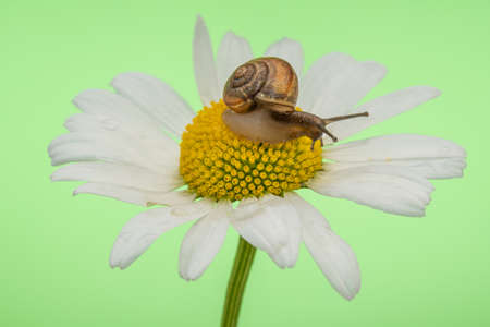 Little snail sits on a large chamomile, close-up view