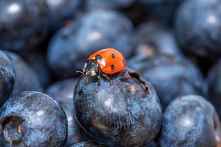 Ladybird walking on freshly picked blueberries, close-up view