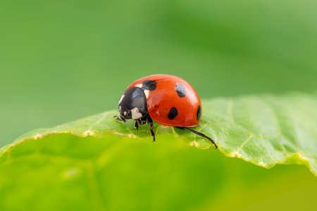 Ladybug runs on a green leaf, closeup view Zdjęcie Seryjne