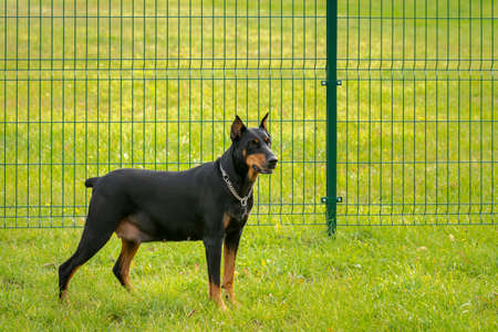 Doberman pincher on the green grass with metal fence behind