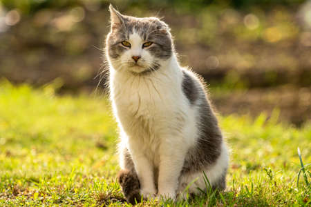 Injured cat with only one ear sitting on a grass. Poor stray cat. Cat with disabilities help concept.
