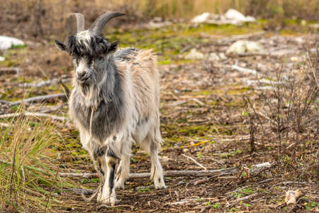 Funny escaped goat walking alone in a wild nature