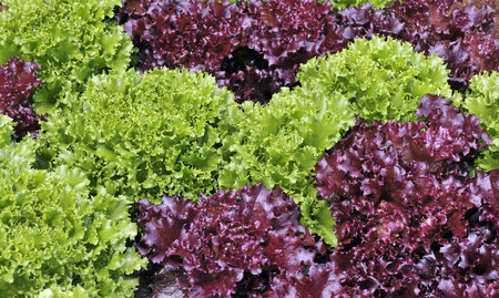 Mixed red and green loose leaf lettuce growing in a salad garden.