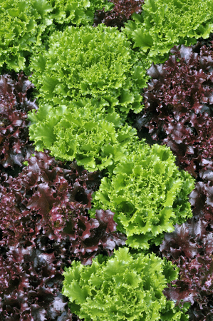 lettuces: Mixed red and green loose leaf lettuce growing in a salad garden.