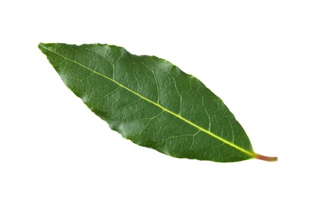 Fresh picked Bay leaf, from the Laurus Nobilis or Bay Laurel tree, for use as a culinary ingredient to flavour food. Stock Photo