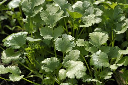 coriandrum sativum: Coriander plants growing, coriandrum sativum, also known as Pak Chee, cilantro and chinese parsley.