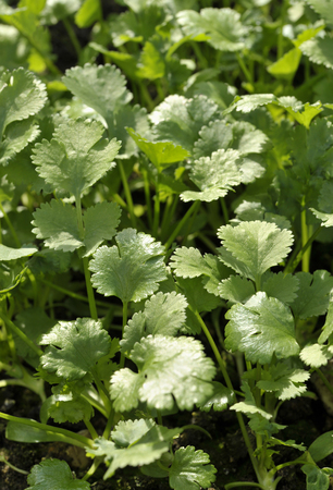 coriandrum sativum: Coriander plants, coriandrum sativum, also known as Pak Chee, cilantro and chinese parsley.