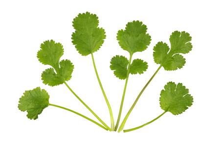 coriandrum sativum: Fresh Coriander leaves, coriandrum sativum, also called pak chee, cilantro and chinese parsley.