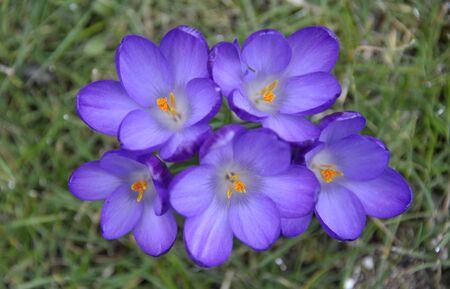 croci: Purple Crocus flowers growing in a garden lawn.
