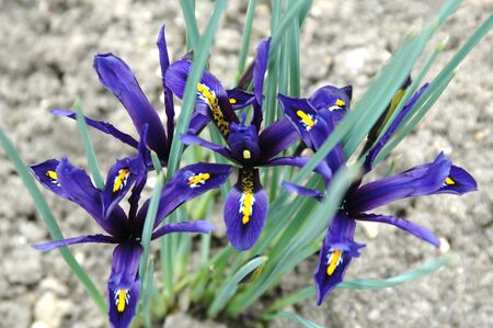 iris reticulata: Dwarf Iris in flower, iris reticulata, george. Stock Photo