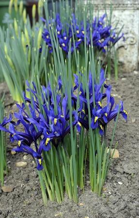 reticulata iris: Dwarf irises, Iris Reticulata, variety George in flower.