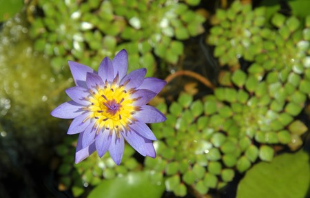 Purple and yellow tropical water lilly in flower, genus nymphaea.