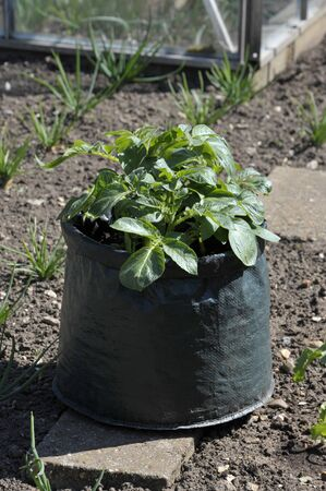Container grown potatoes in a space saving patio bag of compost. Variety Charlotte, a waxy salad variety suited to containers.