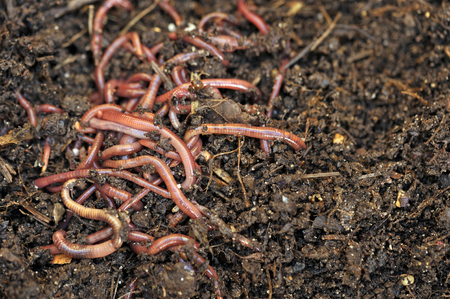 vermiculture: Garden composting worms recycling plant and kitchen food waste into a rich soil improver and fertilizer.